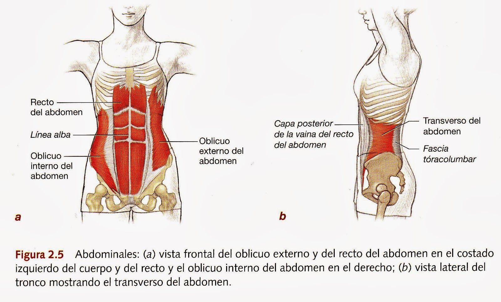 figura 2.5 transverso del abdomen pilates david belio